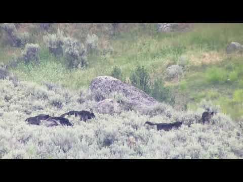 Yellowstone Wolves and Grizzlies