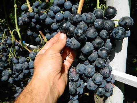Виноград Страшенский (Grapes Strashenskiy) 2015