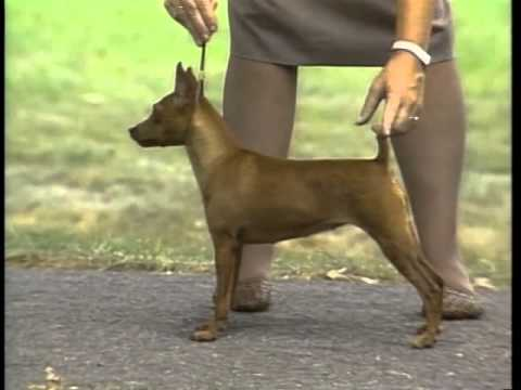 Miniature Pinscher - AKC Dog Breed Series
