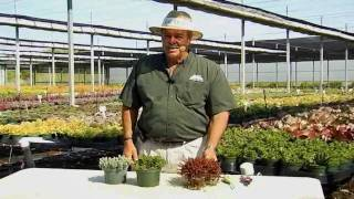 Succulent Sedum Care Instructions.avi