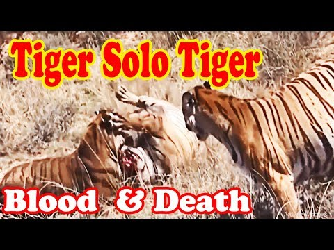 🔴Best Tiger Attacks Tiger In The Forest ▶️  999% Real Fight,