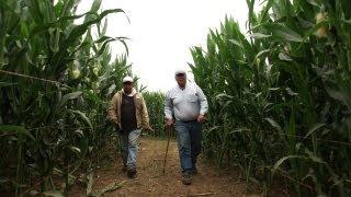 Corn Maze and Pumpkins at Harvest Time