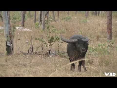 Hunting Water Buffalo With Bow In Australia Part 1