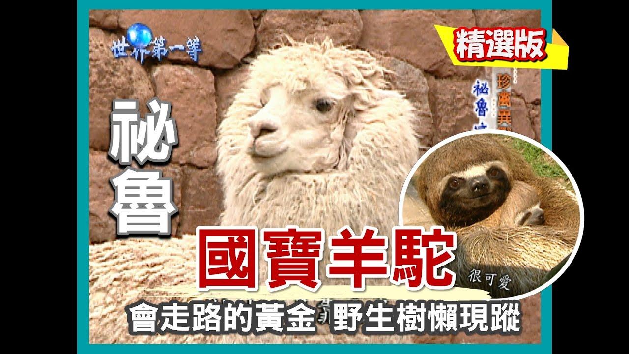 【祕魯】國寶神獸草泥馬 羊駝剪毛儀式(巧遇樹懶寶貝 / 介紹 4 種品種羊駝)|《世界第一等》188集小馬精華版