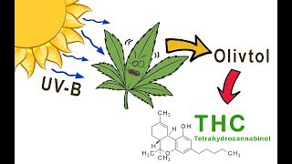 Increase THC with UV-B