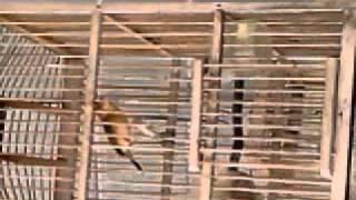 burung cici padi(salome)