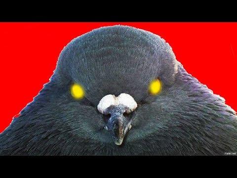 Голуби на балконе -  ПАРАЗИТЫ и ЗАРАЗА! Опасно для попугаев! (часть 4)