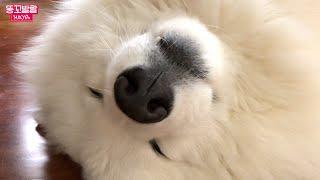 호야단추 미공개 영상 모음 /귀여운 강아지와 고양이
