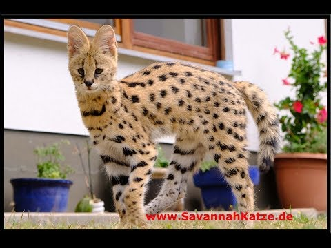 Serval meets his new friends (F1 Savannah cats) – Savannah Cat TV