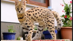 Serval meets his new friends (F1 Savannah cats) - Savannah Cat TV