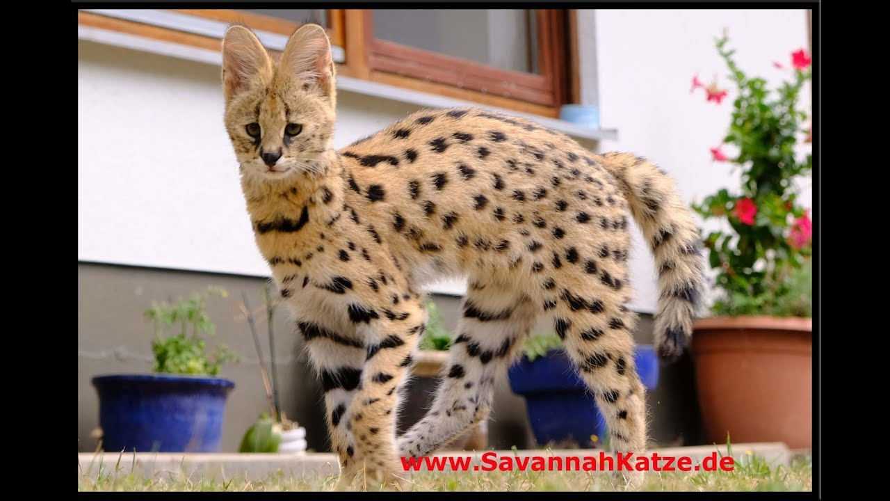 Serval Meets His New Friends F1 Savannah Cats Savannah Cat Tv Youtube