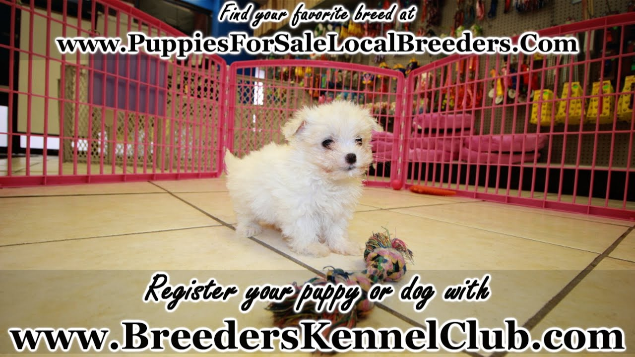 Maltese, Puppies For Sale, In Greenville, County, South Carolina, SC,  19Breeders, North Charleston
