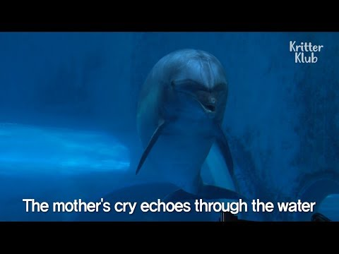Mother Dolphin Giving Birth But The Baby Couldn't Make It | Kritter Klub