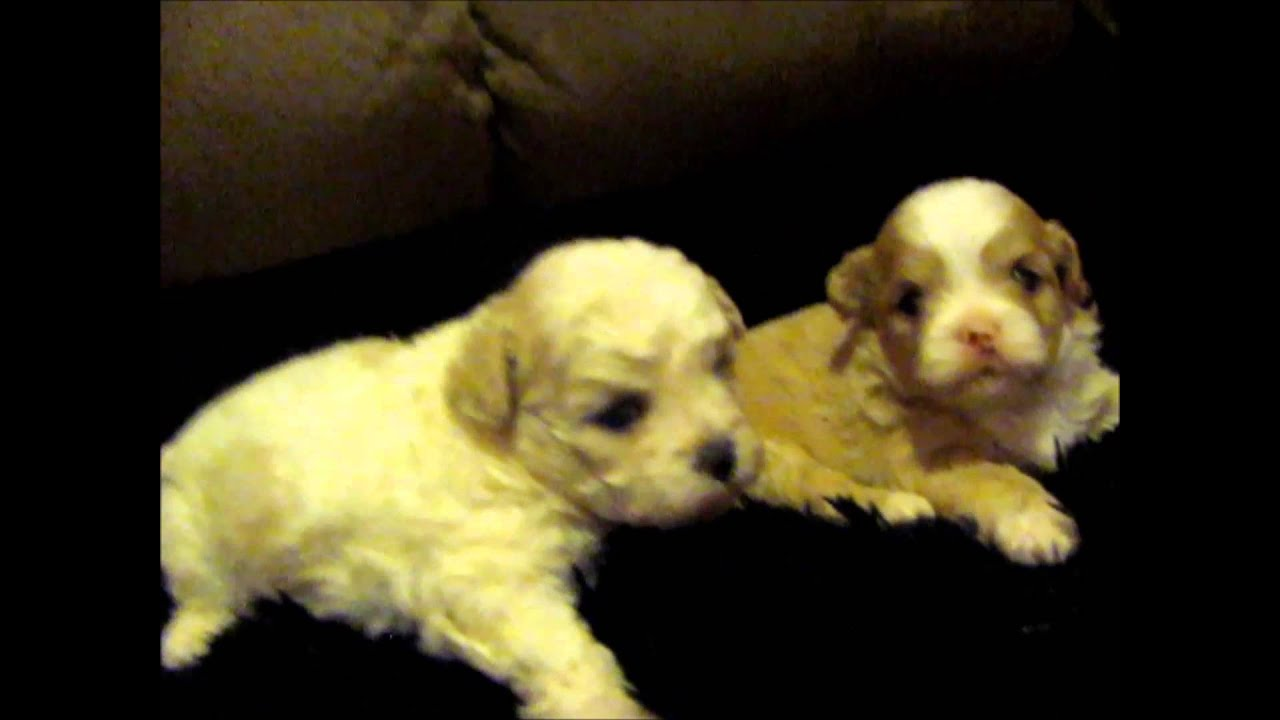Shichon puppies for sale in kentucky - Diasy Dog Fuzzywuzzypoo Puppies For Sale Fuzzywuzzypups