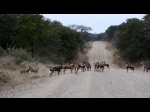 Hyenas vs Wilddogs, Gonarezhou/Malilangwe, Zimbabwe