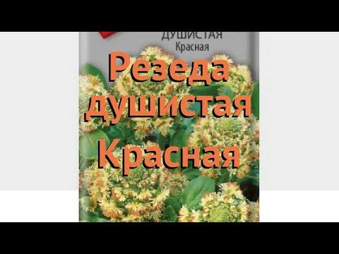 Резеда душистая Красная (krasnaya) 🌿 резеда Красная обзор: как сажать семена резеды Красная
