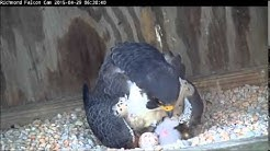 Richmond Peregrine Falcons: First Hatch!