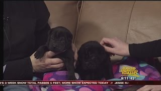 Shar-pei Puppies Ready For Adoption