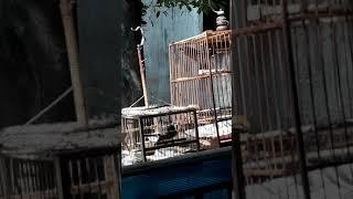 Chim sẻ quạt mồi đấu đá Thành Phạm 0902866363