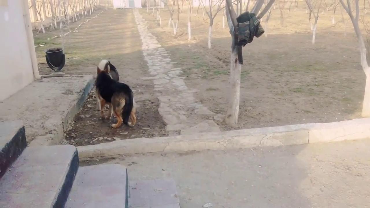 ЧЕРНЫЕ НЕМЕЦКИЕ ОВЧАРКИ. Chic black German Shepherds.Одесса.