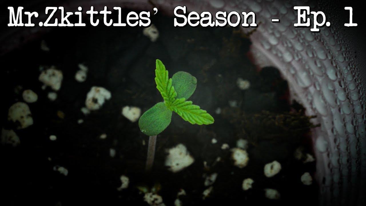 Mr. Zkittles Season - MegaCrop Germination