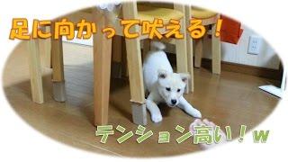 生後3ヶ月の子犬(紀州犬雑種)が家の中を走り、人の足に向かって吠えま...