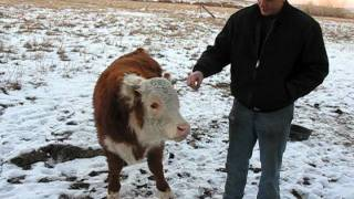 Franklin Nash Hand Feeding Amazing Bull.dv