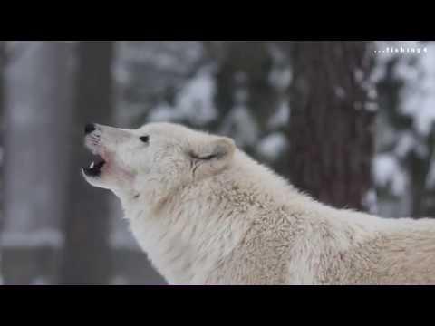 Как кричит волк