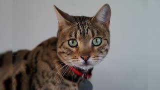 Бенгальская кошка. Плюсы и минусы, Цена, Как выбрать, Факты, Уход, История