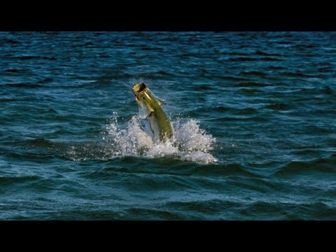 Tarpon Fishing Destin Florida And Port Canaveral Cobia Fishing