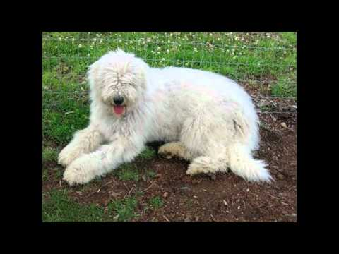 Amy's Animal Facts: Komondor Dogs