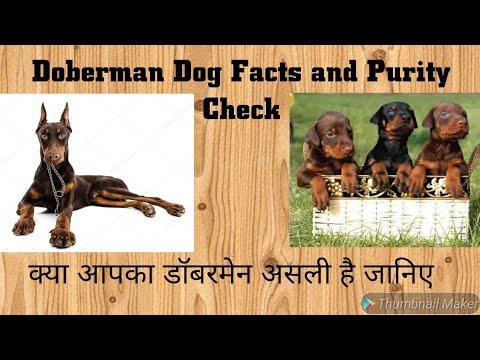 Doberman pinscher ||Judging the Doberman || Doberman Dog Facts and Purity Cheak