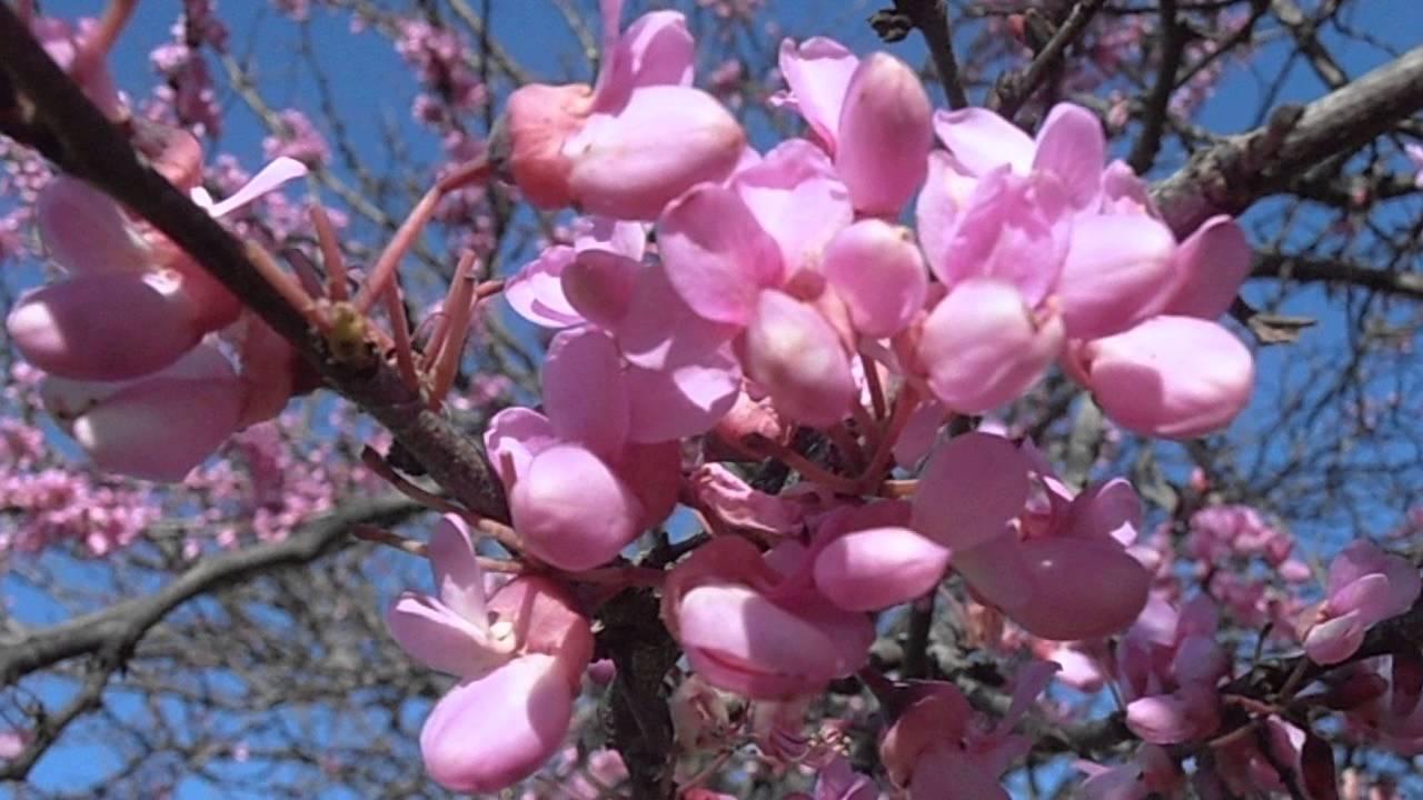 árbol Del Amor En Flor Cercis Siliquastrum Wwwriomoroscom Youtube