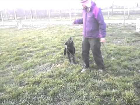 Zulu working dog