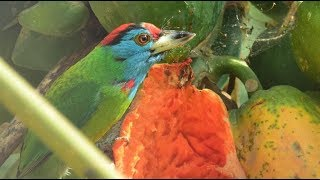 Blue Throated Barbet   Birds of India