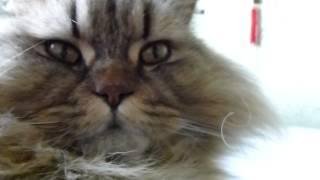 scottish straight - порода кошек ...добрые ..вальяжные ..и ласковые...