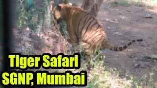 Tiger Safari at Mumbai's Sanjay Gandhi National Park | Tiger drops poop as kids giggles