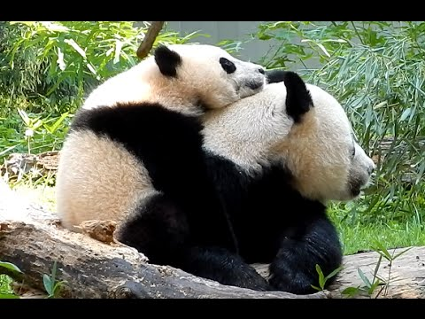 Giant Panda Bao Bao Cuddle with Mom