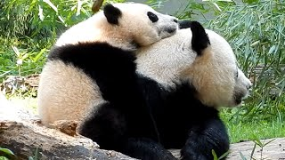 Giant Panda Bao Bao Cuddle with Mom
