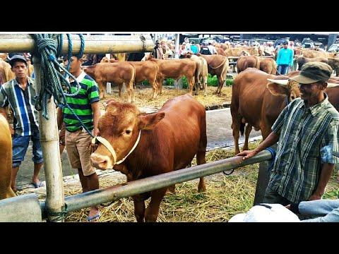 Limousin Mantul Mas Agung Pasar Hewan Muntilan Magelang