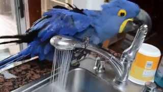やっぱ水量マックスが一番気持ちイイ!自分で蛇口から水を出して水浴びするインコ