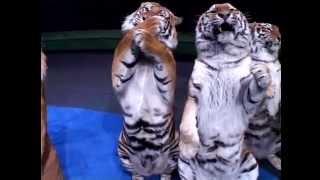Цирк братьев Запашных - аттракцион среди хищников