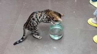 Умная Бенгальская кошка