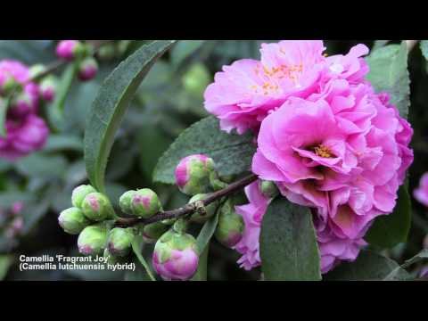 How To Flower Camellias In Containers