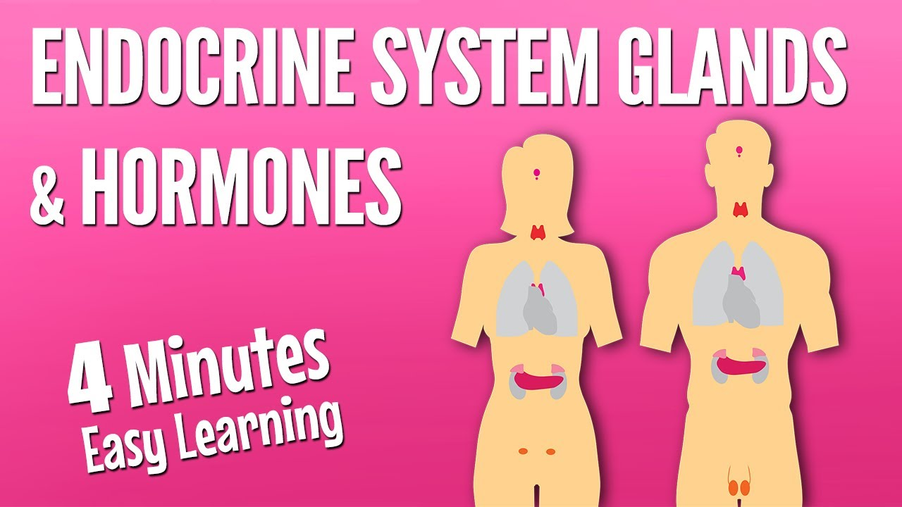 Endocrine system glands and hormones | Endocrine system anatomy and physiology