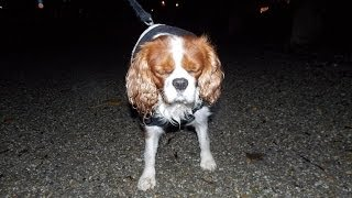 Cavalier King Charles Spaniel - Walking In The Dark - [paca]