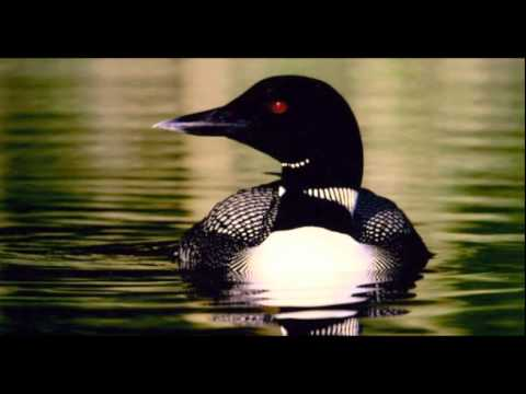 LOON SOUND EFFECT IN HIGH QUALITY