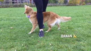 Moxie 2 years old and many tricks! Nova Scotia Duck Tolling Retriever