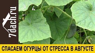 🥒 Как спасти огурцы от августовского стресса и снимать урожай до холодов - 7 дач