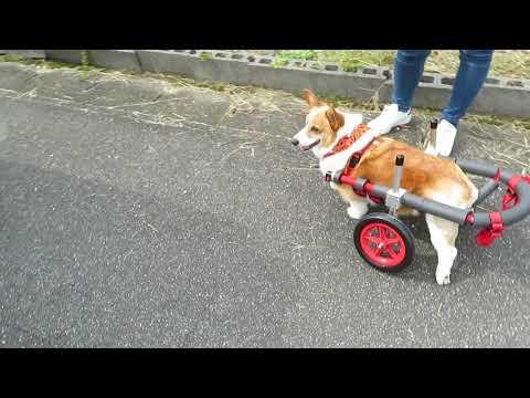 はな工房の犬用車椅子 コーギー犬 ミナミちゃん♪